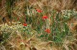 Тихо в поле, колос зреет, вкус земли в себя вбирая, маки в поле пламенеют, рожь собою украшая... Л.К