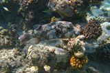 Звездчатый Аротрон (Giant puffer)Красное море