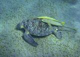 Черепаха Бисса, Рыба- ПрилипалаКрасное море, бухта Аба Даббаб