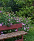 Самодельная скамейка на фоне куста шиповника.
