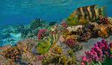 Перистохвостый ХейлинКрасное море