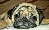 собака преданность грусть