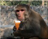 Обезьяны в делийском зоопарке разгуливают  среди посетителей  как администраторы  – очень строгие. Внимательно следят за тем, чтобы никто не проносил на территорию продукты. В случае нарушения – конфискация и уничтожение продовольствия на месте!