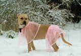 ...американский стаффордширский терьер в розовом...С Новым годом!