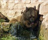 Сирийский мишка в Хайфском зоопарке.
