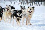 Беренгия- самая протяженная в мире гонка на собаках.  Победа зависит от дружной работы всего четвероногого коллектива и их двуного предводителя.