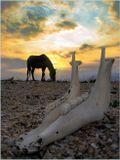 Во время войны, при отступлении наших войск, на острове Тендра бросили лошадей. Пресной воды на острове нет и лошади приучились пить морскую воду. Они выжили, но одичали..........  Дикие лошади о.Тендра - Черное море. / 10.07.2006.