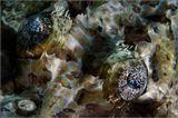 Рыба-крокодил, пятнистый плоскоголов, Crocodile-fish - относится к семейству Плоскоголовые. Все его представители имеют уплощенную голову и удлинённое, утончающееся сзади тело. Голова покрыта костными гребнями, зубцами и шипами, в чём и кроется сходство с крокодилом. Длина от 50 до 100 сантиметров. Её окраска очень близка по цвету с цветом песчаных кораллов. Это позволяет ей легко маскироваться на дне, зарываясь в песок.