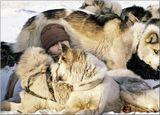 """Когда-то знаменитый полярный путешественник Кнуд Расмуссен сказал:""""Оставьте мне снег и собачью упряжку, а все остальное можете забрать себе!"""". Нет на Севере друга более преданного и работящего чем ездовая собака."""