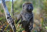 Бамбуковый лемур.Мадагаскар. Естественная среда обитания.