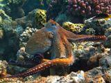 Осьминог, Лазоревый КлюворылКрасное море