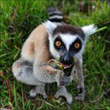 Кошачий лемур.  Мадагаскар, естественная среда обитания.