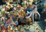http://www.youtube.com/watch?v=6eV3qbWnoTs Осьминог, Красное море