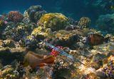 Краснополосый Групер, Голубопятнистая Свистулька, Зебрасома- Парусник Красное море, Эль Кусейр