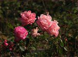 Увядающий куст роз, октябрь.
