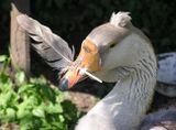 Пёрышко вставлено гусыни за то, что трогает гусят, которых водит другая гуска. Это очень действенный и старый способ.P.S. Извините, снято слабой камерой, в 2006 году.