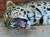 Дальневосточный леопард (леопардиха)
