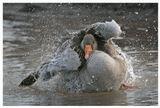 Дикий серый гусь (Anser anser), истосковавшийся по воде