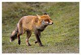 Лиса (Vulpes vulpes)из голландских дюн