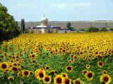 Солнечный день. Подсолнечное поле, на горизонте церковь.