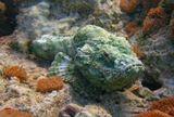 Дьявольский скорпенопсис (Scorpaenopsis diabolus)-рыба семейства скорпеновых. При встрече с человеком не уплывает,полагаясь на свою покровительственную окраску и ядовитые шипы в спинном плавнике.Вырастает до 30 см (обычно 24-26 см). Питается мелкой рыбой, прекрасно маскируется в засаде на дне.Красное море