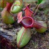 Кувшинчики образуются на конце листьев и сами являются продолжением листа. Долгое время считалось, что они служат исключительно для накопления влаги. Можно из них и пить в случае необходимости. Но оказалось, что  это ловушки для насекомых, которыми питается растение. Называется оно Непентес (Nepenthes),  происходит из теплых стран, Индии, Австралии, а также Юго-Восточной Азии и Мадагаскара.