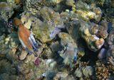 Осьминог, Талассома КлунцингераКрасное море