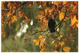 Галка (Corvus monedula)Нидерланды