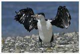 Phalacrocorax varius varius; adult; non-breeding dress; Southern island; New Zealand; пестрый или пегий баклан; взрослый; Южный остров; Новая Зеландия