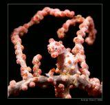 Соломоновы острова. карликовый морской конек на коралле горгонарии