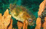 Rounded-Porcupine-fish,Sulawesi-sea,Lembeh Strait, Indonezia, july-2011