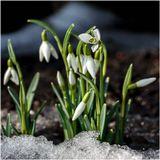 подснежники, весна, март