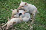 Грузия.В горах Сванетии маленьким свинкам сплошное раздолье.Они гуляют где хотят,резвятся и играют.Все мы в детстве играли  в чехарду.(Фото не постановочное:))