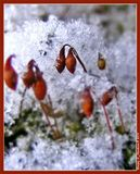 Спорангии мха под снегом... Учимся макрофотографии... =)