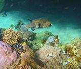 Звездчатый Аротрон, Красное море