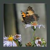 Тёплый  солнечный  денёк.Бабочка  на  сентябринкеCanon  400D  Tamron SP AF 70-200f/2.8 Di  Macro 1:1лето,  бабочка,  цветы,  сентябринки,  крапивница