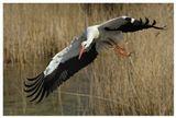 Вот вам, пожалуйста, первые краски заката, вечного аиста белые хлопья над хатой, старой пословицы словно хранящие цену: все, мол, устроится, были бы аисты целы. (Б.Окуджава)Аист, ciconia ciconia; white stork; ooievaar; Нидерланды
