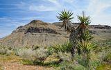 """Red Rock Canyon, USA, NevadaJoshua Tree -  (Yucca breviflora)""""Юкка коротколистная"""" - растение семейства лилейных, названное так поселенцами-мормонами, которые пересекли пустыню Мохавев середине девятнадцатого века. Уникальная форма деревьев напоминали им о библейской истории, в которой Иисус Навин простирает руки к небу в молитве."""