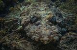 Рыба крокодил