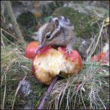 Бурундук и яблоки, осень Белокуриха, Алтайский край