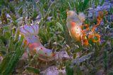 Гимнодорис Цейлонский (Голожаберный Моллюск) откладывает икру.Впервые посчастливилось увидеть процесс продолжения рода Голожаберника...Размер Моллюска 3- 4 смКрасное море