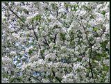Май в белом, переменная облачность, ветерок, цветёт ранетка.