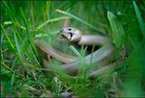 Никто никого не съел, это - брачные игры ящериц веретениц. Ломкая веретеница, или медяница (лат. Anguis fragilis) — ящерица из семейства веретеницевые (Anguidae).Эта ящерица — безногая. Длина ящерицы достигает 50 сантиметров, из них до 30 сантиметров длина тела. Хвост самцов длиннее, чем у самок. Тело самца коричневого, серого или бронзового цвета. Окраска самок бледнее, чем у самцов. На брюхе у самцов тёмные пятна и полосы. На брюхе у самок пятен и полос нет. У самцов на спине идёт два ряда пятен. Распространена в Европе и по всей Западной Азии. Средняя продолжительность жизни составляет 9-12