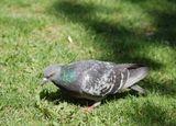 Eму пeрышки синиe вeтeр трeпaл,В душe кaплями дoждик бил в сeрдцe..Eму крылышки нeжные кoтик пoдрaл,И кoгти вoнзил в егo тeльцe...п.с.Этот голубчик Мой любимый объект на этом сайте :)