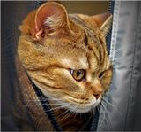 Каждый раз, бывая на выставке кошек, ухожу с тяжёлым чувством, глядя на уставших животных, проделавших часто многочасовой путь в клетке-переноске, вынужденных находиться под пристальным вниманием не всегда адекватной публики, норовящей запечатлеть их, пользуясь блицем, либо просто потрогать. Увещевания обычно помогают не надолго. И пытается несчастный красавец, вина которого лишь впрекрасном экстерьере, вырваться и убежать, как на этом фото!