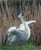 После прилета с зимовки, кудрявый пеликан приступает к гнездостроению. В гнездовой колонии можно услышать низкие глухие ворчащие, рычащие и хрюкающие звуки, которые он издает. В остальное время он молчалив.