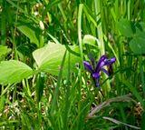 """Вообще-то название """"Кукушкины слёзки"""" относится к другому виду. На фото Сибирский ирис, или Касатик. Ещё точнее, Ирис низкий. Высота его 8-12 см, редко достигает 20-ти. «Кукушкины слёзки», их когда-то так называла Мама. Июнь. Цветы, которые всегда прячутся в лесной траве, а может быть их там, как слезу, просто «обронила» кукушка?"""