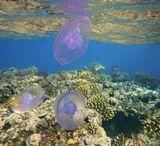 Ушастая медуза, Красное море
