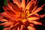 Огненный цветок огонь красный оранжевый лепестки макро