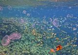 Бахромчатогубая Кефаль, Золотистая Барабуля,Рыба- Бабочка, Ушастая медуза.Красное море